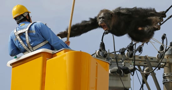 Chimpanzee Escapes From Japanese Zoo, Eludes Capture By Climbing Electrical Pole
