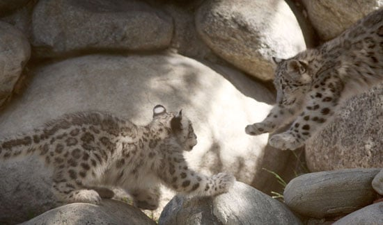 Snow Leopard Babe Takes a Flying Leap