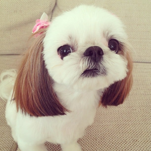 Meet Iriko, a 1-year-old Shih Tzu and Chihuahua mix with the cutest pigtails, er, ears. Source: Instagram user hana_uoj