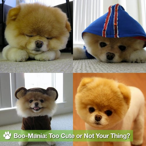 Sugar Shout Out: Get Acquainted With Boo the Cute Pomeranian
