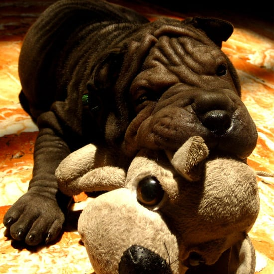 Get to Know the Chinese Shar-Pei: A Dog With a New Wrinkle on Life!