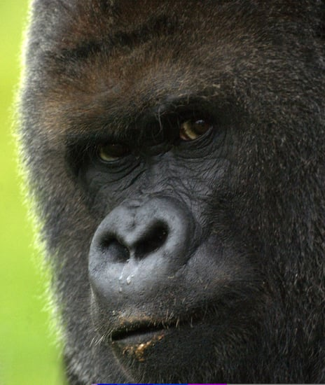 70 Percent of Asia's Primates are Endangered