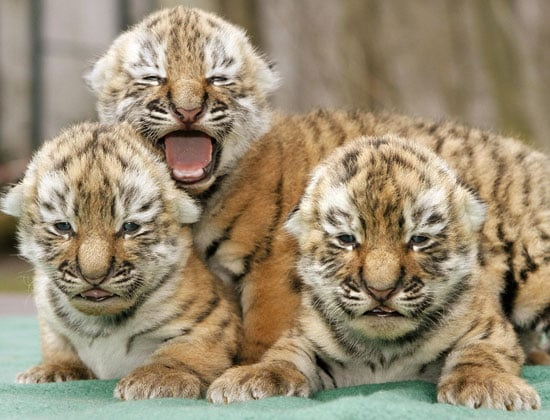 Three Baby Tigers Are Better Than One!