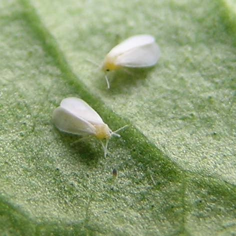 Plant Therapy: Beware the Whitefly!