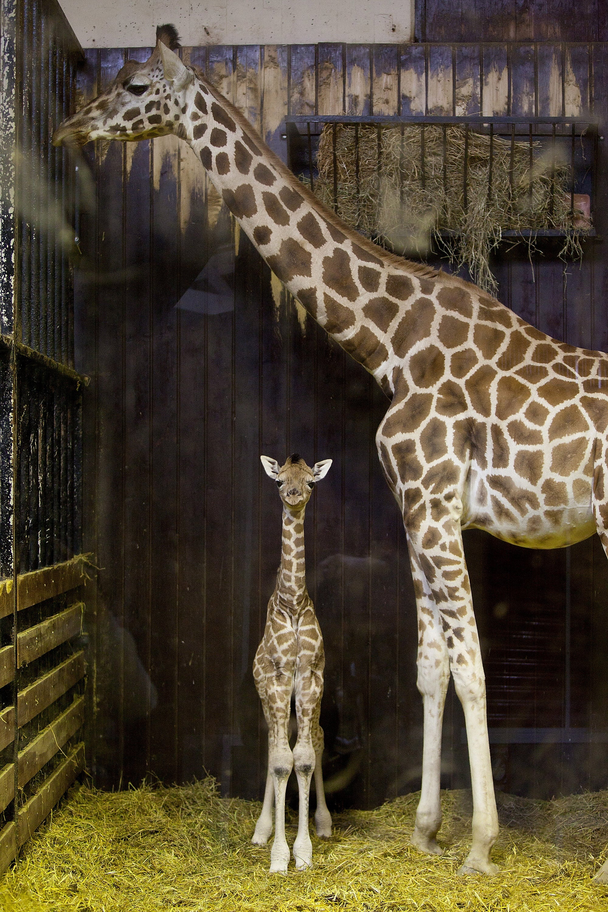 Whereas all giraffes have at least two horns atop their heads, Rothschild giraffes have five!