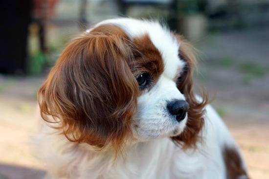 Cavalier King Charles Spaniel Pictures