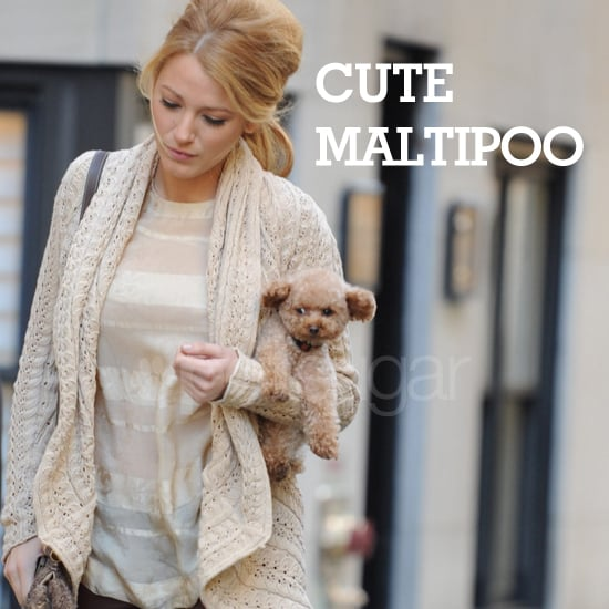 Different Looks of Cuddly, Cute Maltipoos