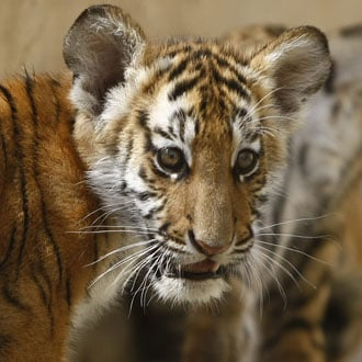 Can You ID All Six Subspecies in Time For the Year of the Tiger?