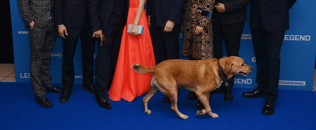 Tom Hardy's Dog Totally Stole the Show at the Legend Premiere