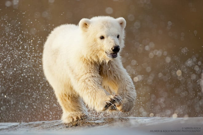 Polar bears are well suited to arctic waters, carrying about four inches of blubber under their coats and paddling with large paws. Source: Hilmer & Koch for Scandinavian Wildlife Park