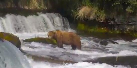 Alaska Bear Cam Lets You Watch Brown Bears Catch Salmon Live At Katmai National Park