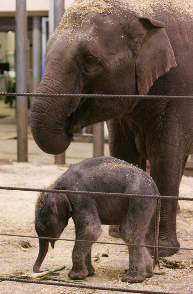 Taronga Zoo's Baby Elephant!