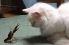 Crawfish vs. Cat