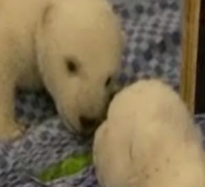 Baby Polar Bear, Flocke, Take a Look in the Mirror