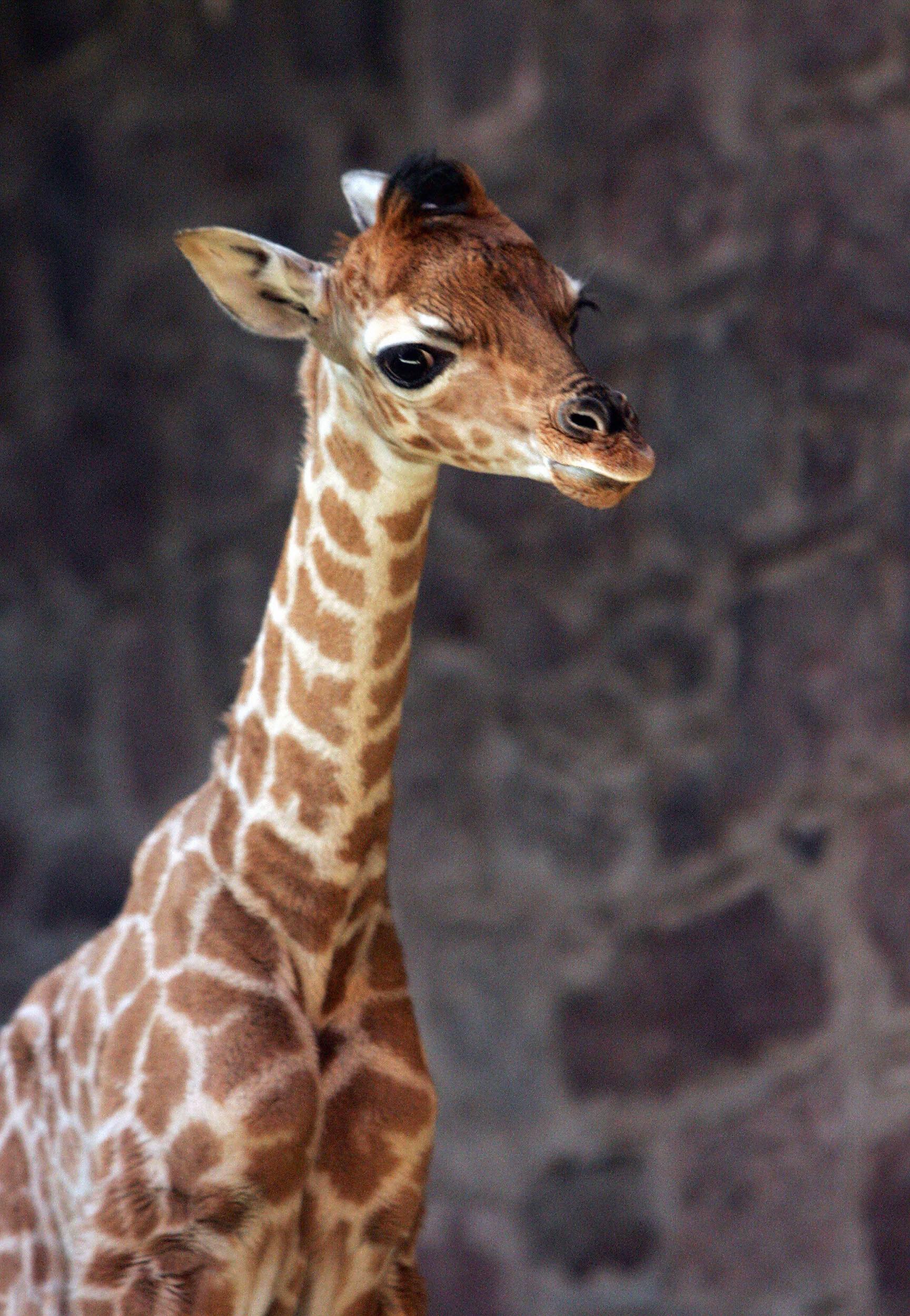 Baby Giraffe Goes for Sloppy Seconds