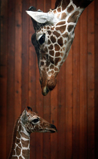 Creature Features: Giraffes