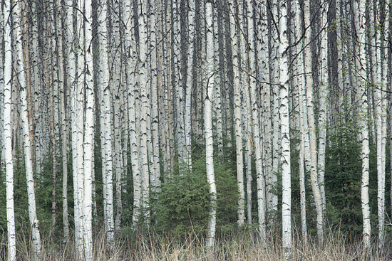 Trend Alert: Birch Trees Out of the Forest