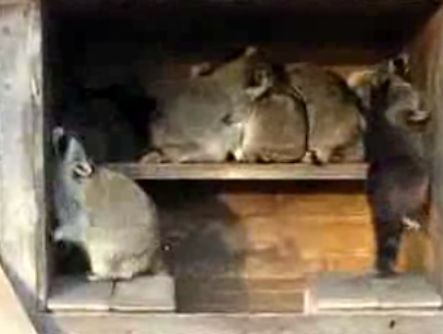 Raccoon House Party!