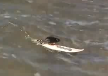 Surfing Rats