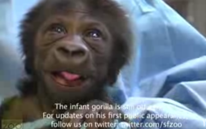Baby Gorilla Is Freaky Cute