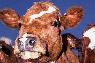 US Government Seeks to Overturn Ruling That Allows Meatpackers the Ability to Test More Cows for Mad Cow Disease