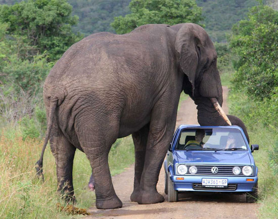 Do Elephants Like The Color Blue?
