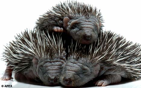 Tiny Hedgehogs Born a Month Earlier Than Normal