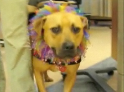 Former Vick Dog Puts Pitty Paws to Therapy