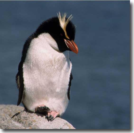 Snares Island Penguins