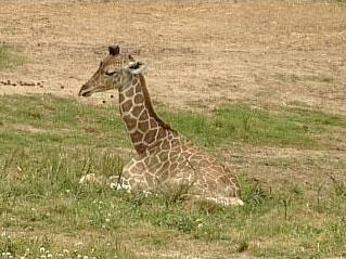 Baby Giraffe With Weakened Ankles Dies