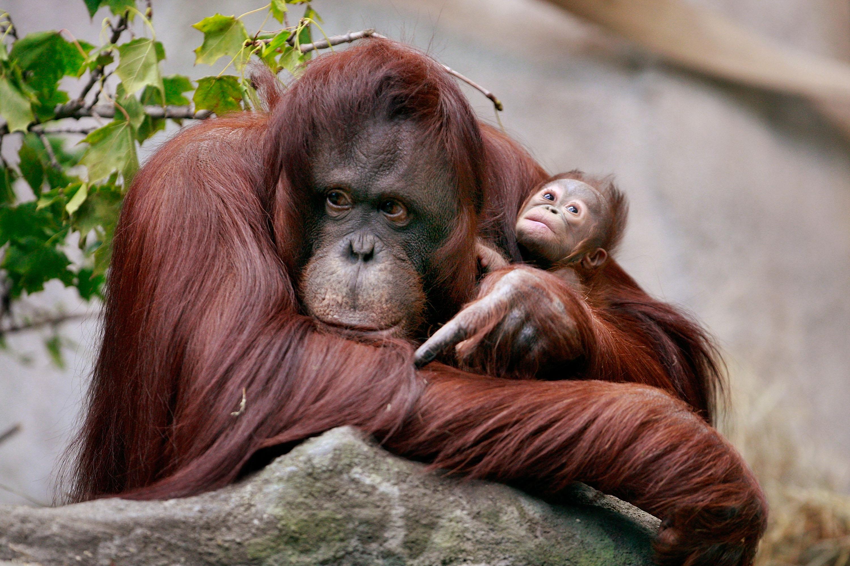 The Scoop Rare Bornean Orangutan Born At Brookfield Zoo