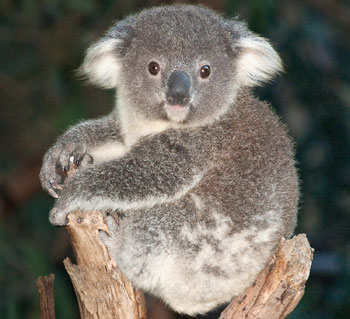 What Do You Know About Koalas Eating Habits?