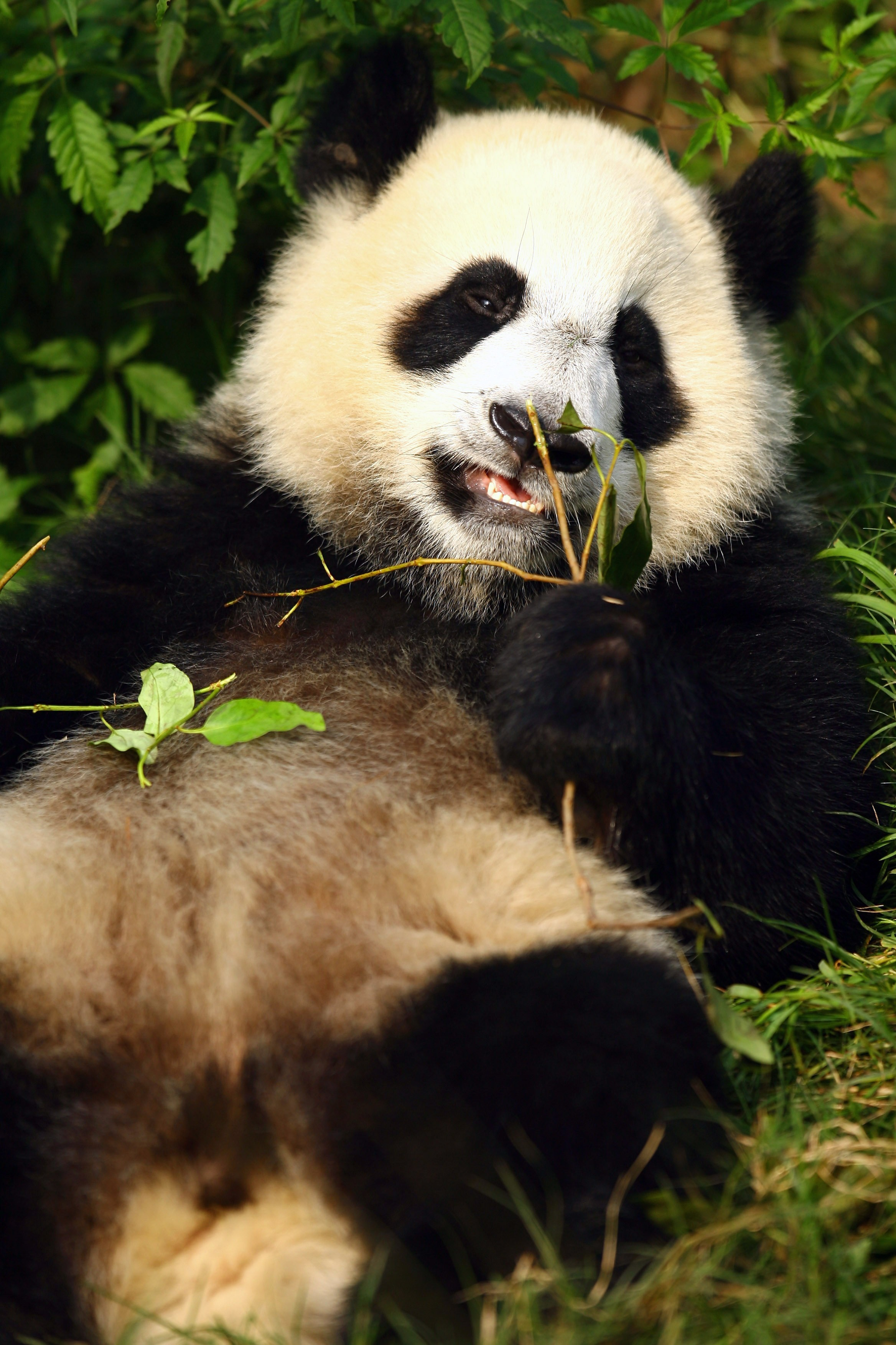 China's Giant Panda.