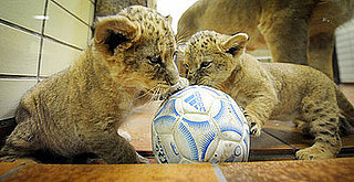 Sugar Shout Out: Up Close and Personal with 2 Little Lions