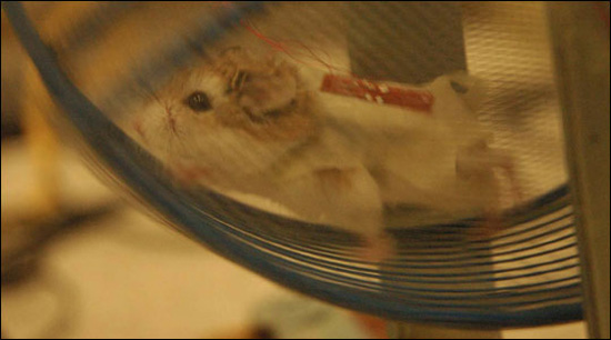The Scoop: Hamsters Generate Electricity by Running a Wheel