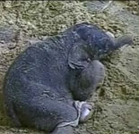 India Broadcast's Elephant's Birth Online