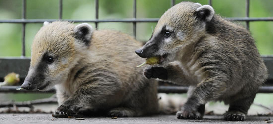 Double the Baby Coatis, Double the Fun!