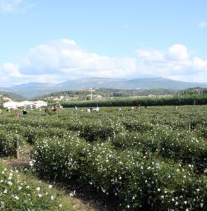 Tour of Beauty: Chanel's Jasmine Fields in Grasse, France