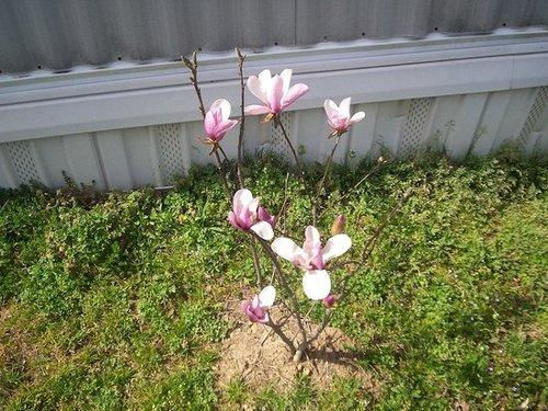 my jane magnolia in full bloom