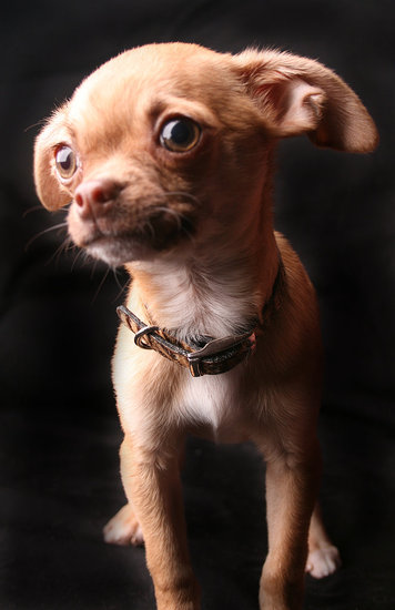 Javier the Chihuahua