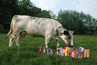 Cows Eat Candy Too