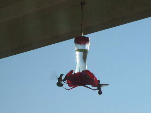 Hummingbirds In My Backyard