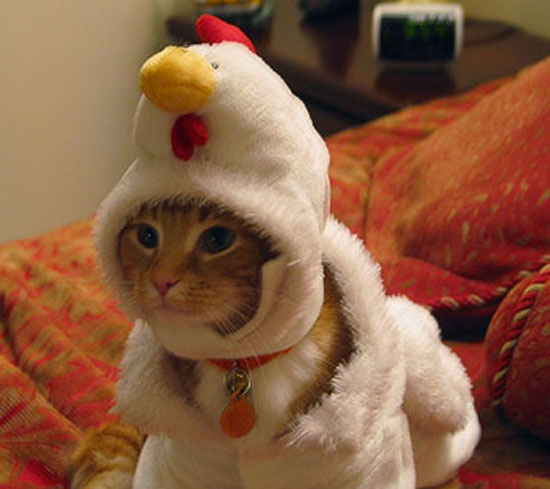 Kitten in Chicken's Clothing?
