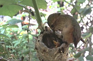 Hummingbird Mom & Babies Star in Live Webcam (VIDEO)