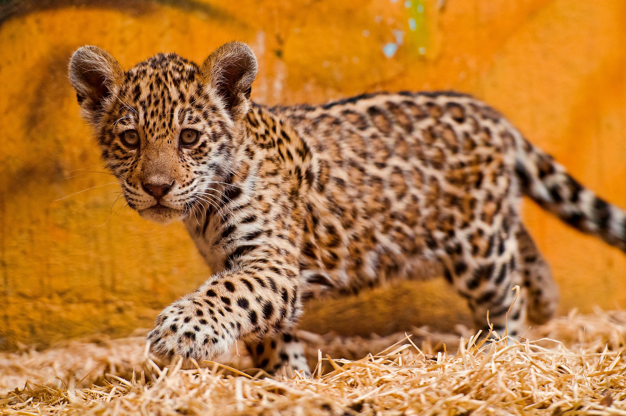 Spot The Differences Between Leopards, Jaguars, And Cheetahs | POPSUGAR Pets