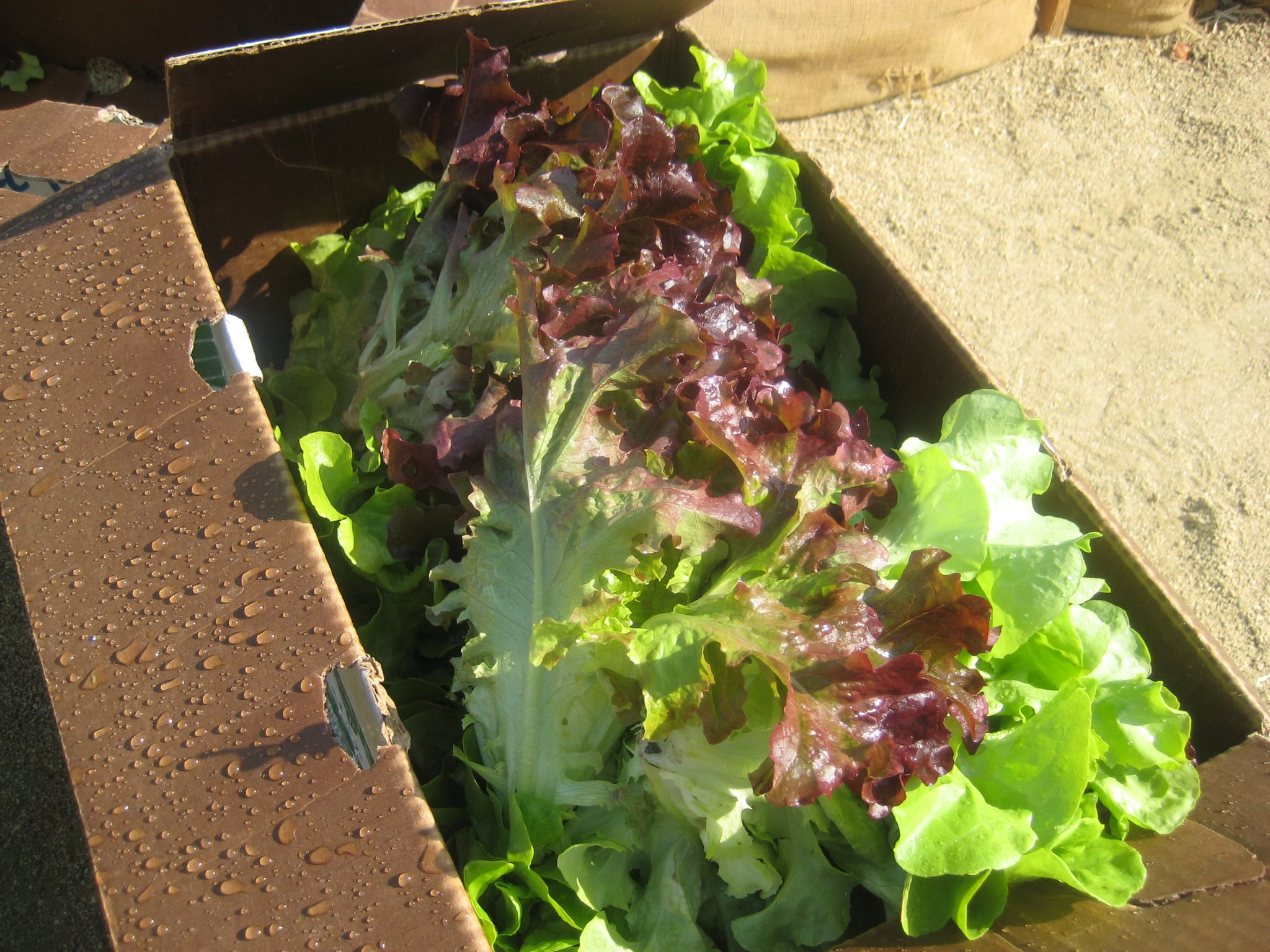 After harvesting the collard greens, I washed this box of lettuce heads.