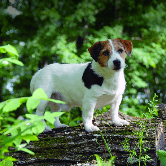 Russell Terriers: the American Kennel Club's 175th Breed