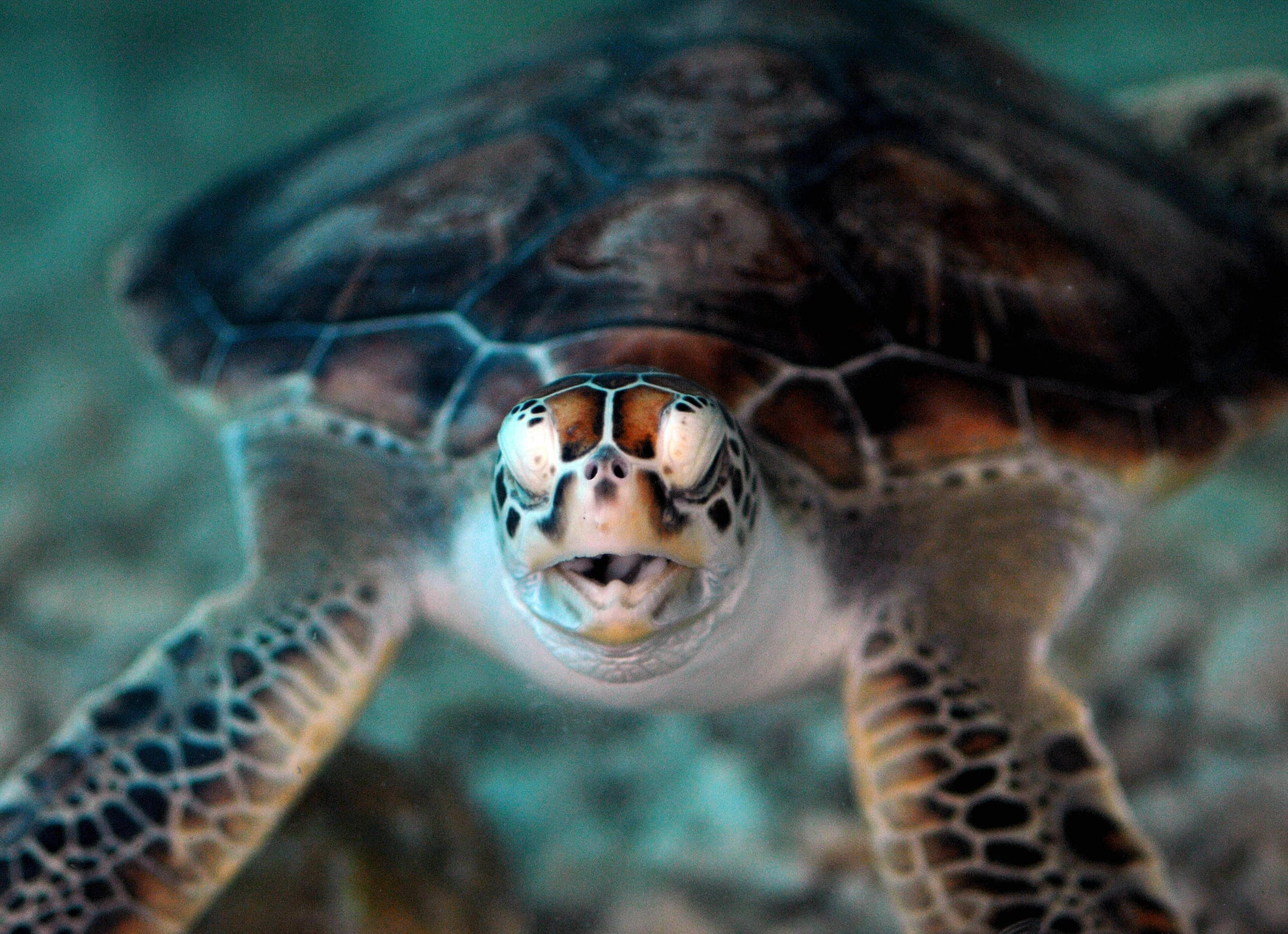 Green turtles, listed as an endangered species, nest in several Taiwanese offshore islands during summer and this year only six