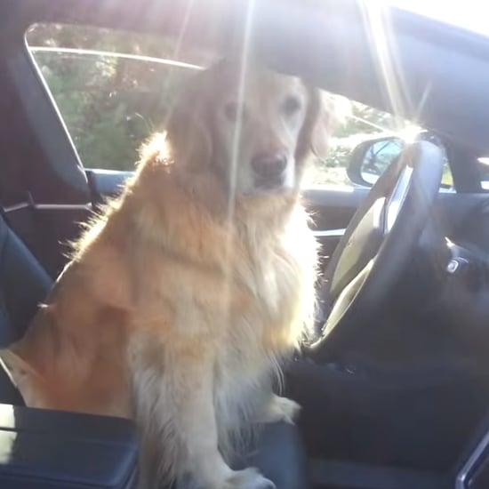 Dog Driving Tesla Car | Video